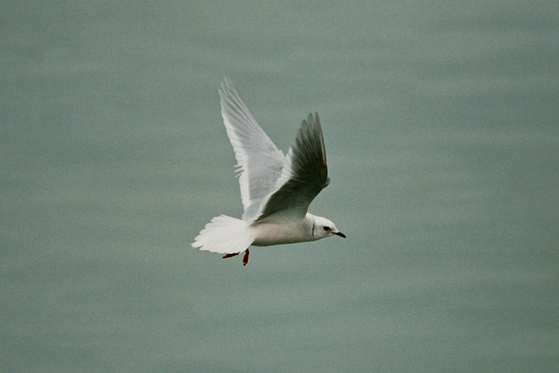 Ross's Gull 1 Plymouth 2003