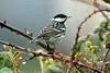 Blackpoll Warbler 1 Seaforth 2000