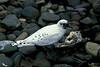 Ivory Gull Saltburn 1986