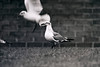 Laughing Gull Newcastle Hospital February 1986