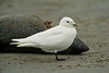 Ivory Gull 1 Black Rock Sands 2002