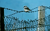 Lesser Grey Shrike 2 Aberdaron 26th October 1986