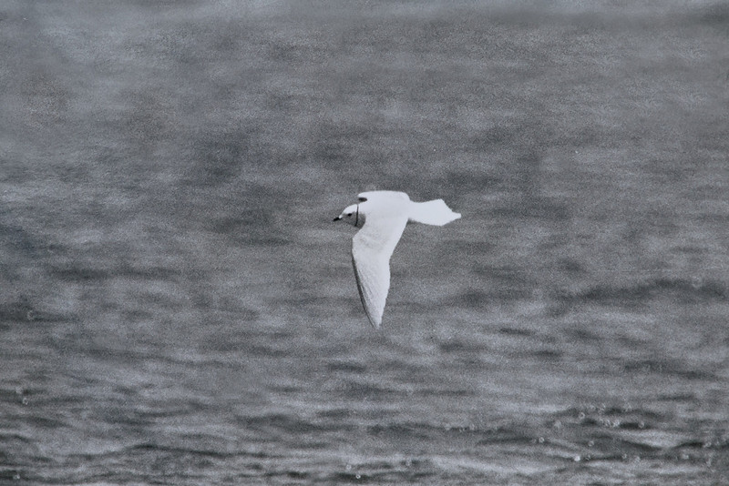 Ross's Gull Titchwell b 1984 - the bird that got me hooked on rarities...