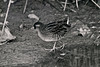 Sora Rail 2 Pagham 10th November 1985