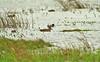 Baikal Teal 1 Minsmere 2001