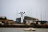 Forster's Tern 2 Bangor December 2000