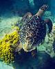 Turtle at Mahoebay2