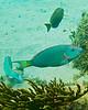 Parrotfish-pretty good