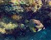 Beautiful Trunkfish