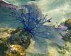 Blue Sea Fan