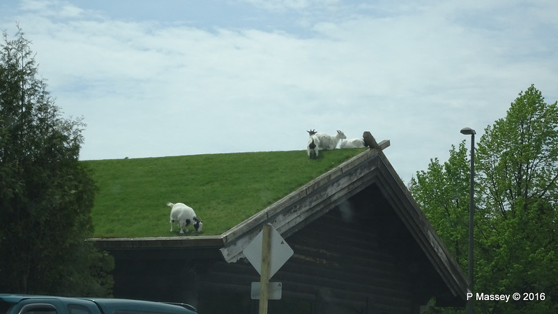 Goats on Roof Al Johnson's Swedish Restaurant Sister Bay WI PDM 24-05-2016 11-40-00