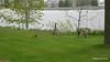 Canada Geese & Goslings Manitowoc WI PDM 25-05-2016 07-15-23