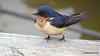 Eastern Bluebird Manitowoc WI PDM 25-05-2016 11-08-57