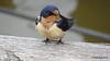 Eastern Bluebird Manitowoc WI PDM 25-05-2016 11-09-03