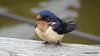 Eastern Bluebird Manitowoc WI PDM 25-05-2016 11-08-59