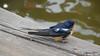 Eastern Bluebird Manitowoc WI PDM 25-05-2016 11-09-36