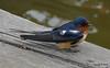 Eastern Bluebird Manitowoc WI PDM 25-05-2016 11-09-028