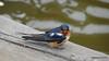 Eastern Bluebird Manitowoc WI PDM 25-05-2016 11-09-30
