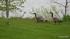 Canada Geese & Goslings Manitowoc WI PDM 25-05-2016 07-15-29