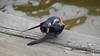 Eastern Bluebird Manitowoc WI PDM 25-05-2016 11-09-15