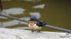 Eastern Bluebird Manitowoc WI PDM 25-05-2016 11-08-45