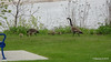 Canada Geese & Goslings Manitowoc WI PDM 25-05-2016 07-14-54