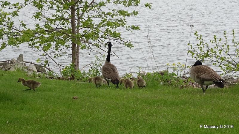 Canada Geese & Goslings Manitowoc WI PDM 25-05-2016 07-15-049