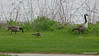 Canada Geese & Goslings Manitowoc WI PDM 25-05-2016 07-13-056