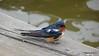 Eastern Bluebird Manitowoc WI PDM 25-05-2016 11-09-34