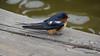 Eastern Bluebird Manitowoc WI PDM 25-05-2016 11-09-18