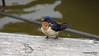 Eastern Bluebird Manitowoc WI PDM 25-05-2016 11-08-47
