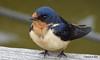 Eastern Bluebird Manitowoc WI PDM 25-05-2016 11-09-006
