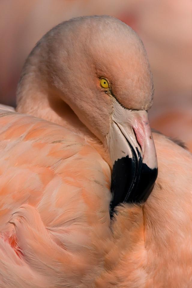 Flamingo - San Francisco Zoo - USA
