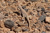 Desert Iguana Fire Canyon Valley Of Fire PDM 03-04-2017 11-53-43