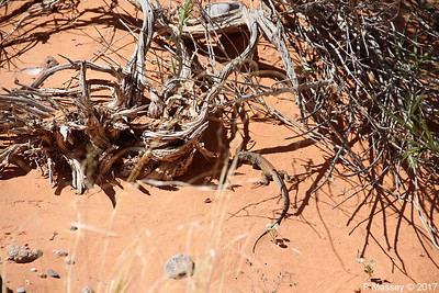 Tiger Whiptail Lizard Rainbow Vista Valley Of Fire PDM 03-04-2017 11-39-20