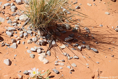 Tiger Whiptail Lizard Rainbow Vista Valley Of Fire PDM 03-04-2017 11-39-06