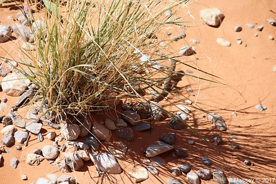 Tiger Whiptail Lizard Rainbow Vista Valley Of Fire PDM 03-04-2017 11-39-09