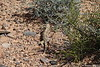 Desert Iguana Fire Canyon Valley Of Fire PDM 03-04-2017 11-53-58