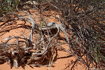 Tiger Whiptail Lizard Rainbow Vista Valley Of Fire PDM 03-04-2017 11-39-22