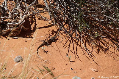 Tiger Whiptail Lizard Rainbow Vista Valley Of Fire PDM 03-04-2017 11-39-15