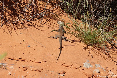 Tiger Whiptail Lizard Rainbow Vista Valley Of Fire PDM 03-04-2017 11-38-47