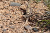 Desert Iguana Fire Canyon Valley Of Fire PDM 03-04-2017 11-53-53