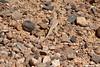 Desert Iguana Fire Canyon Valley Of Fire PDM 03-04-2017 11-53-41