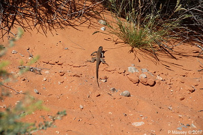 Tiger Whiptail Lizard Rainbow Vista Valley Of Fire PDM 03-04-2017 11-38-46