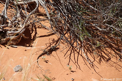 Tiger Whiptail Lizard Rainbow Vista Valley Of Fire PDM 03-04-2017 11-39-14