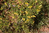 Creosote Bush Valley of Fire PDM 03-04-2017 10-42-18
