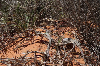 Tiger Whiptail Lizard Rainbow Vista Valley Of Fire PDM 03-04-2017 11-39-24