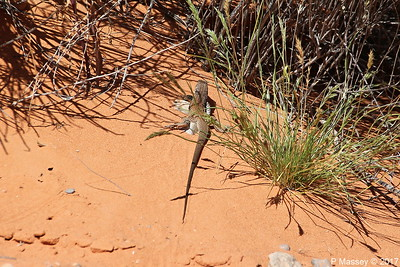 Tiger Whiptail Lizard Rainbow Vista Valley Of Fire PDM 03-04-2017 11-38-48