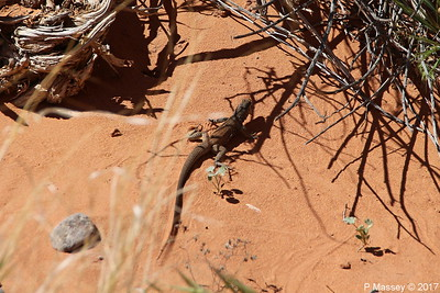 Tiger Whiptail Lizard Rainbow Vista Valley Of Fire PDM 03-04-2017 11-39-13
