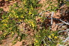 Creosote Bush Valley of Fire PDM 03-04-2017 10-42-14